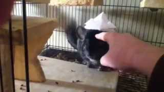 Chinchilla Wearing A Samurai Hat