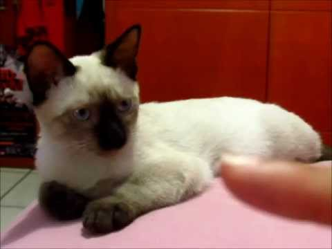 Consejos De Como Elegir  El Mejor Gato a la Hora de Comprarlo o Adoptarlo