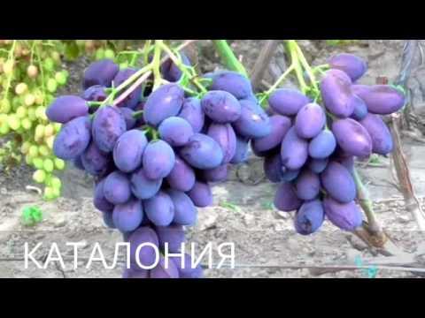 Виноградник 2017 года КАРПОВА И.А.и РУБЕЛЬ Н.Г.ЧАСТЬ 1