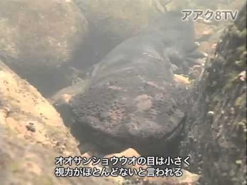 アアク8TV水中映像 ×Goovie 岐阜県のオオサンショウウオ