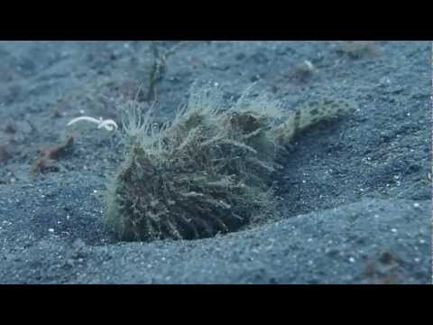Hairy Frogfish - Two Fish Divers Lembeh 23-12-2012/31-12-2012