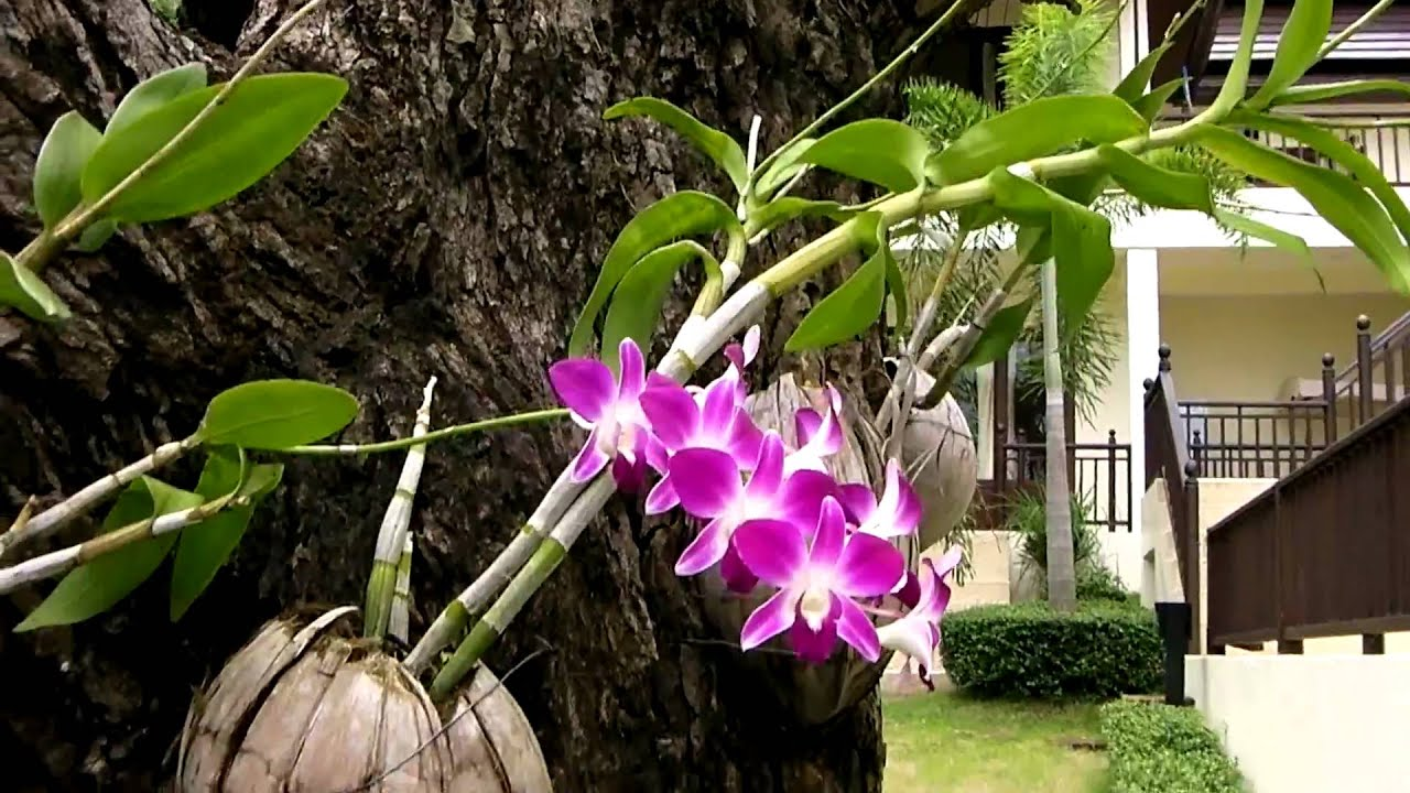 Orchids In The Coconut Shells On The Wild Mango Tree In