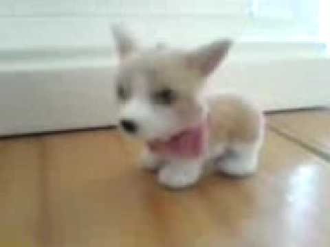 Crazy Cute Corgi
