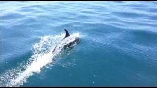 School of Dolphins jumping and playing in Sea of Cortez