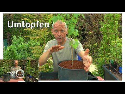 Garten Umtopfaktion Chili Tomate Linde und Erdmandel in Kokoserde und was wichtig ist dazu