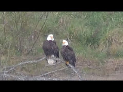 Bald Eagles On The Rogue River, Gold Beach, OR