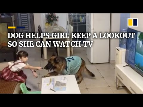 Download Lagu Partners in crime: Dog in China helps girl keep a lookout so she can watch TV.mp3