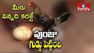 పుంజు గుడ్డు పెట్టింది | Rooster Lays Eggs | Venkatayapalem | Khammam  | hmtv