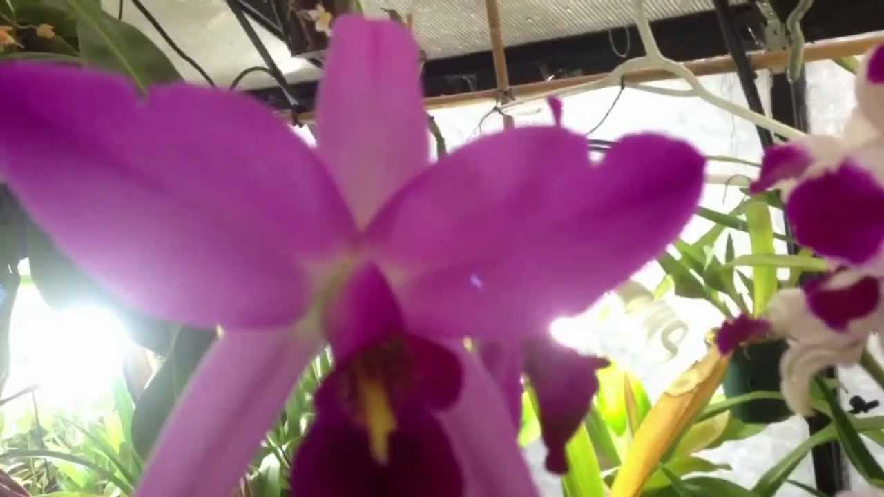 Care of Cattleya Orchids Orchid Care Watering