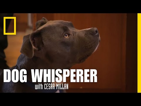 Pit Puppy Lessons   Dog Whisperer