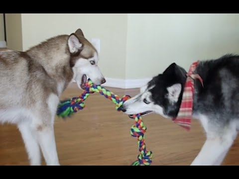 The Rope Battle! - Mishka & Laika