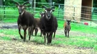 Creepy Stalking Goats