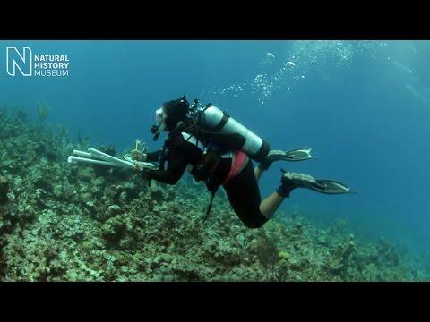 Caribbean coral crusaders | Natural History Museum