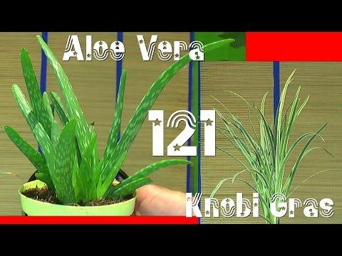 Aloe Vera, Knoblauch Gras und Zimt Aroma Pflanzen