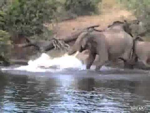 Crocodile Eating Elephant Elephant Attacked by Crocodile