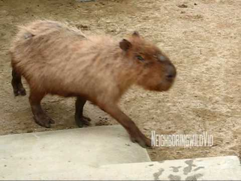 In memory of Capyo (12 years old capybara)