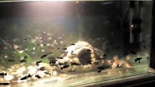 Akvarijne Rybicky Gupky Molinezie