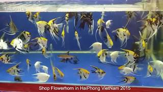 Shop Flowerhorn Fish in HaiPhong VietNam 2015