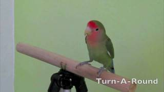 Taming an Aggressive Lovebird - Bryan's Angels Video Series