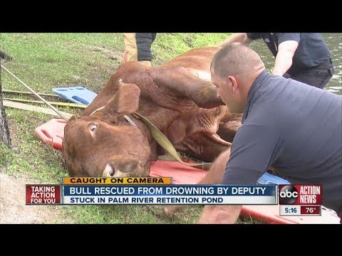 Deputy saves bull from drowning in Palm River pond