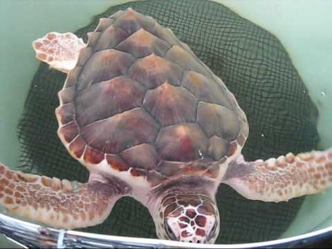 Sea Turtles in Texas Sea Turtles Noaa Sanctuary in