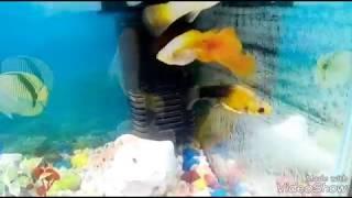 Molly fish live sex capture camera
