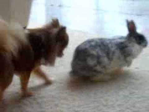 Rabbit and Chihuahua Kiss each other