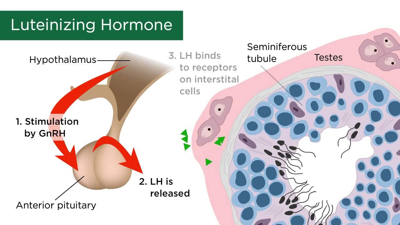sex hormones released