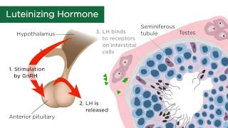 Male Sex Hormones