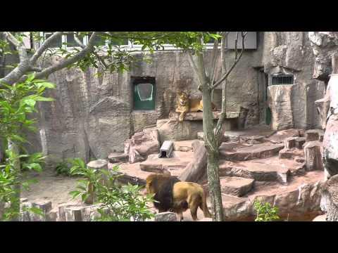 2011年6月4日 円山動物園 ライオン
