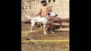 Beautiful  Bully Kutta Bully Dog