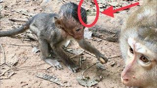 Pity Poor rat Monkey Lori crying, head still edema, Pigtail care Lori, Protect her, Lori needs mom.