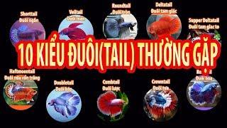 10 kiểu đuôi thường gặp của Betta(shorttail,roundtail,deltatail,veiltail,haftmoon,doubletail...)