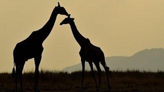 Giraffes face 'silent extinction'