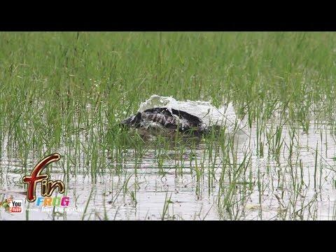 FIN frog # ชะโดกัดกบผิวน้ำ โหด มันส ฮา