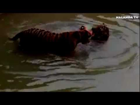TIGER playing in water...