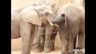 ELEPHANT ASS FUCK HAHA  AWSOME HD