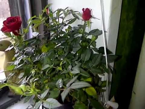 Growing Roses from Seed - Black Baccara and Autumn Rose