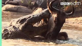 Crocodile Surprise Attacks Wildebeest | BBC Earth