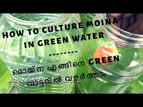 How to culture Moina in green water