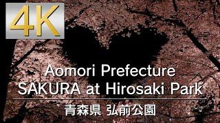 4K Aomori Prefecture SAKURA at Hirosaki Park 青森県 弘前公園