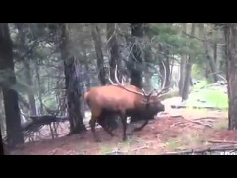 World's Greatest Elk Hunting Video