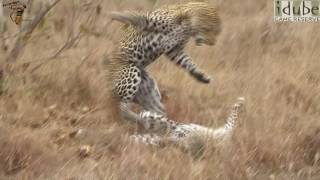 Sex In The Wild: Mating Leopards - Hard and Rough! (HD) #youtubeZA