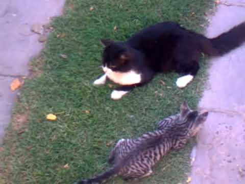 Chascarro de gatos - hijo v/s papá