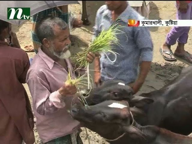 cow traders hope good price