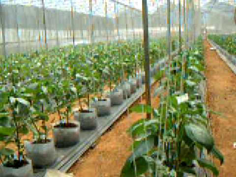 Thailand Rstdc 1 Hydroponic Bell Pepper Youtube