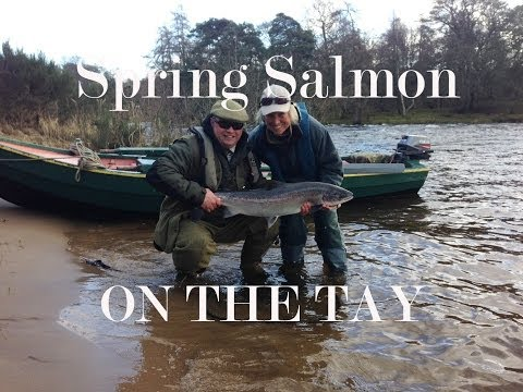 Massive Tay salmon fishing action on the Taymount beat.
