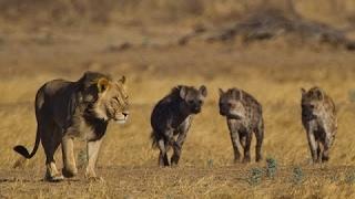 BBC News Animal World 2015 ,Lion Vs Hyena   Lion Kill Hyena documentary
