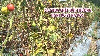 Nghi vấn bị hạ độc, nông dân Lâm Đồng mất trắng nửa tỉ vì vườn cà chua chết héo