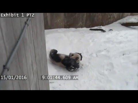 水を入れるボウルをおもちゃにして雪の中で遊ぶパンダ
